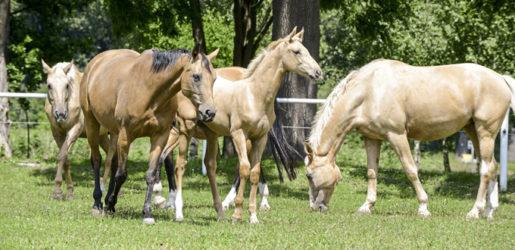 Kinsky Horses: Portrait of the rare horse breed